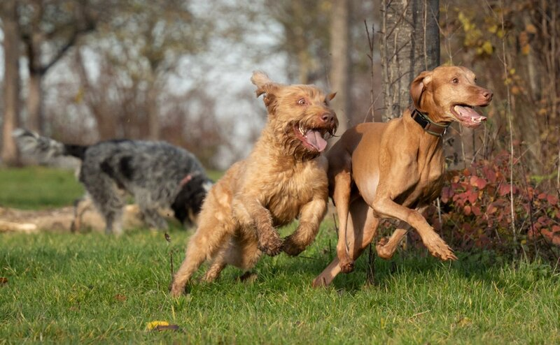 Dogs are running together in the green field.